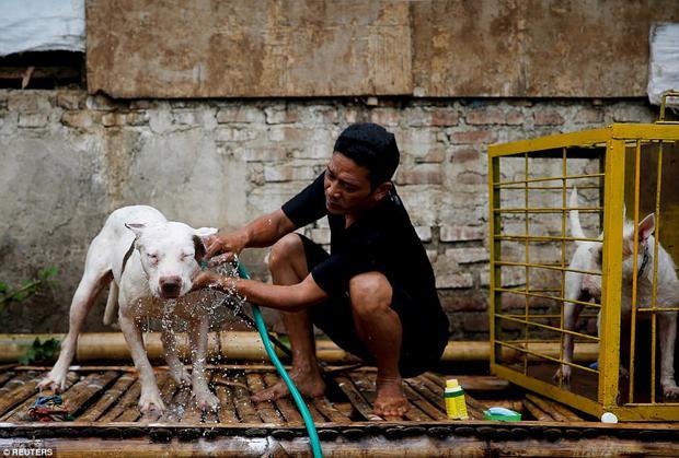 Agus Badud, một người nuôi chó để thi đấu cho biết, tập tục này mang lại cho anh thêm thu nhập. Các trận chiến cũng là cơ hội để kiểm tra sự nhanh nhẹn của những chú chó.