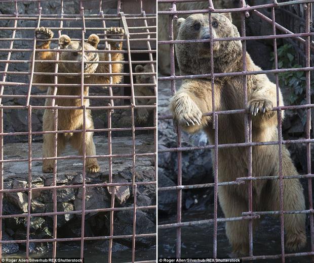 Những khuôn mặt thèm thuồng của đàn gấu bị nhốt trong chuồng, khi nhìn thấy con người ăn trưa ngon lành