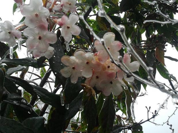Những giọt sương lạnh đọng lại trên từng bông hoa. Ảnh Laocaionline