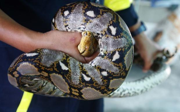 """Thái Lan hiện có khoảng 300 loài rắn, 10% trong đó là rắn độc. Số lượng rắn tại Bangkok đang ngày một gia tăng, một phần là do các khu đô thị đang """"mọc lên như nấm"""", khiến môi trường sinh sống tự nhiên của loài rắn bị phá hủy."""