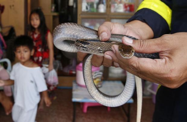 Ông Tara Buakamsri, giám đốc Tổ chức Greenpeace khu vực Đông Nam Á, cho biết,khu vực này thuộc vùng trũng, dễ bị ngập nước vào mùa mưa nên loài rắn cũng xuất hiện nhiều hơn.