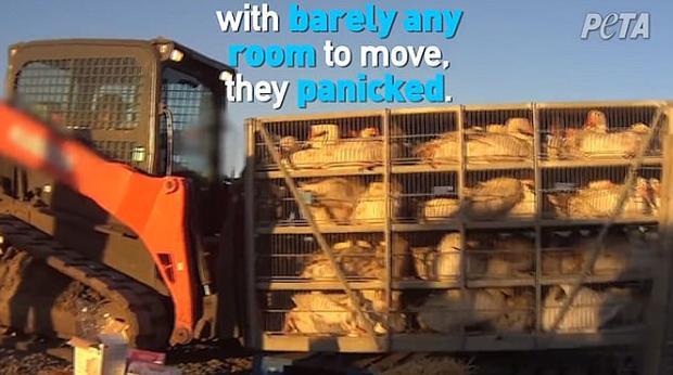 Chúng đồng loạt bị chuyển đến các lò mổ.