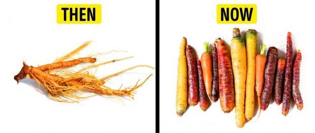 Cà rốt trước đây được trồng chủ yếu để lấy lá và hạt. Cà rốt mà chúng ta ăn ngày nay xuất hiện lần đầu tiên ở thế kỷ 17 tại Hà Lan. Không chỉ là một loại củ giàu chất dinh dưỡng, chúng còn được cho là rất có ích trong việc thu hút ong bướm, kích thích thụ phấn cho những vườn cà chua được trồng xung quanh.
