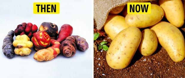 """Khoai tây là một loại củ hoang dã từng mọc rất nhiều trên đất Nam Mỹ. Sau khi được phát hiện và nhân giống, chúng trở thực phẩm giàu chất dinh dưỡng và phổ biến trên toàn thế giới. Trước đây, chúng thường có màu tím, củ nhỏ và không nhẵn nhụi như """"hậu duệ"""" thời hiện đại."""