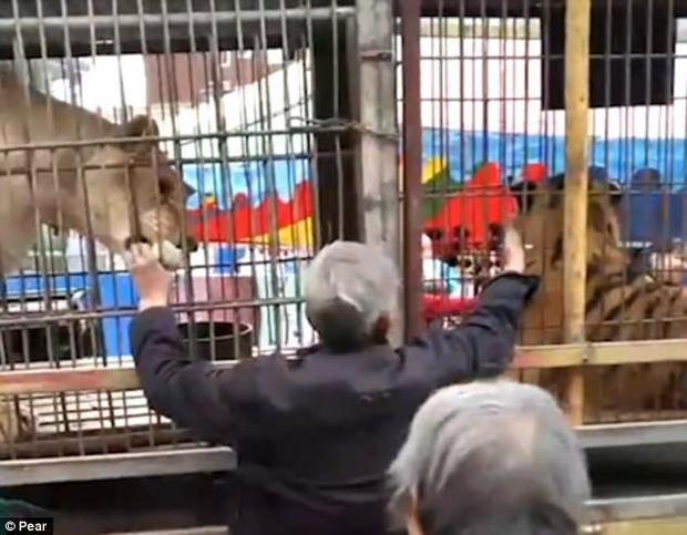 Người đàn ông cao tuổi đứng gần lồng sắt và cố gắng cho những con vật hung dữ ăn.