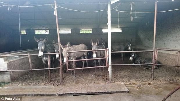 Những con lừa bị giam trong những chiếc chuồng vô cùng mất vệ sinh.