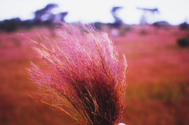 Có một nơi cỏ còn hồng hơn cả Đà Lạt