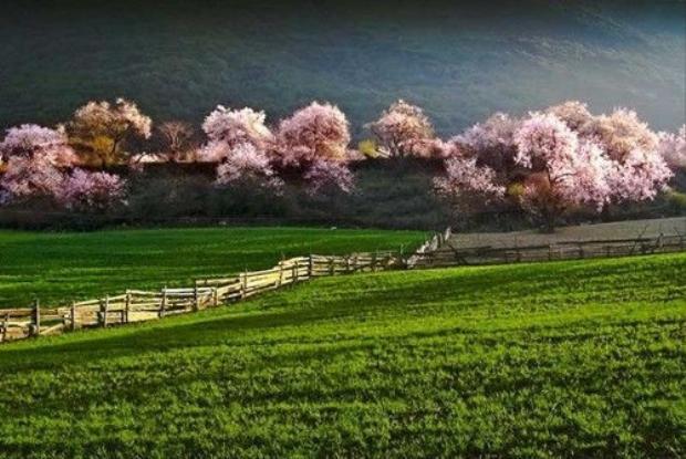 Bức tranh rừng hoa anh đào như mộttuyệt tác mà thiên nhiên ban tặng, được chăm sóc cẩn thận dưới bàn tay khéo léo của con người.