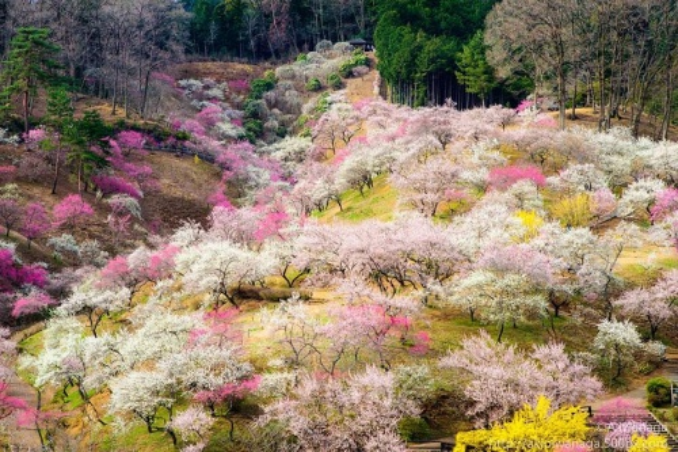 Hơn 30,000 gốc đào thuộc nhiều chủng loại được trồng ở vùng núi Yoshino, phổ biến nhất vẫn là hoa anh đào Yamazakura.