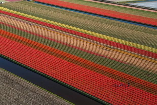 Đây là hững cánh đồng hoa Tulip ở Hà Lan đang nở hoa, chúng khá giống với những miếng đất sắt nhào nặn của trẻ em. Hoa không chỉ đơn thuần là hoa, chính bản thân chúng đã là một kỳ quan.