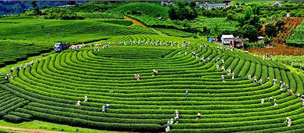 Những đồi chè Mộc Châu, dưới bàn tay chăm sóc cẩn thận của người nông dân, từ trên cao nhìn xuống như những khoanh nhang muỗi thoang thoảng mùi trà.