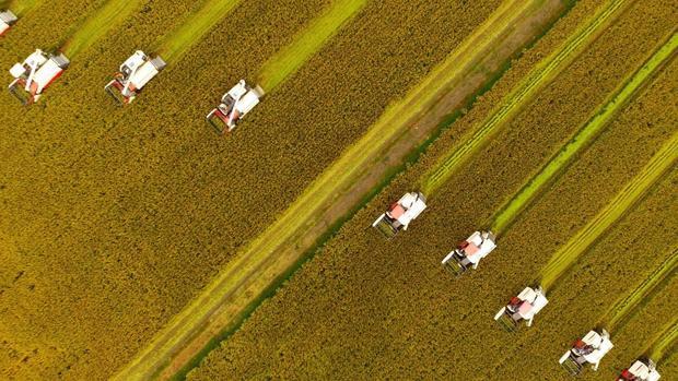 Hưng Hóa, Trung Quốc: Nông dân thu hoạch vụ lúa ở phía đông tỉnh Giang Tô.