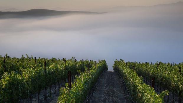 Santa Ynez, California: Sương mù buổi sớm trải dài trên một vườn nho Cabernet Sauvignon trên sườn núi. Các vườn nho ở Central Coast của California đã hồi phục trong năm nay sau hạn hán kéo dài suốt 5 năm.