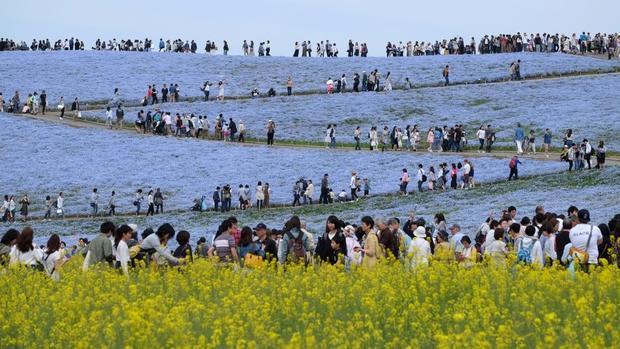 Hitachinaka, Nhật Bản: Du khách thưởng thức hoa nemophila tại công viên Hitachi Seaside ở quận Ibaraki. Ước tính 4,5 triệu hoa nở ở đây vào tháng 4 và tháng 5.