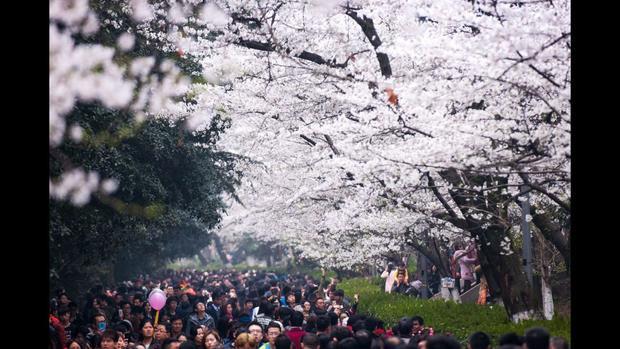 Vũ Hán, Trung Quốc: Mọi người xem hoa anh đào mùa xuân tại Đại học Vũ Hán thuộc tỉnh Hồ Bắc, Trung Quốc.