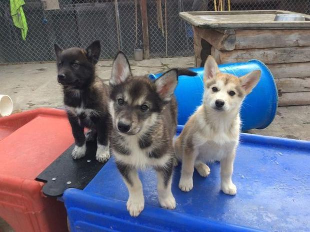 Những chú chó này khi lớn lên sẽ có nhiệm vụ bảo vệ vùng hoang dã Denali. Chúng thường đi với nhân viên kiểm lâm để tuần tra.