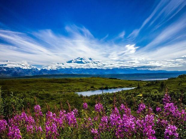 Những đóa hoa xác pháo khoe sắc vào cuối mùa hè ở Alaska đang sẫm màu hơn khi vào tiết trời mùa thu. Đây là một trong những loài thực vật học đặc trưng của vườn quốc gia Demali.