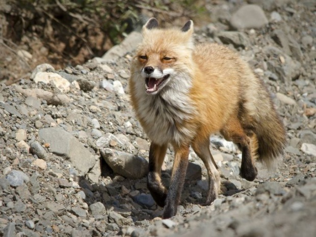 Một chú cáo đỏ đang đi dọc theo đường cao tốc. Cáo đỏ là một trong 39 loài động vật có vú nằm trong danh sách bảo tồn của Denali.