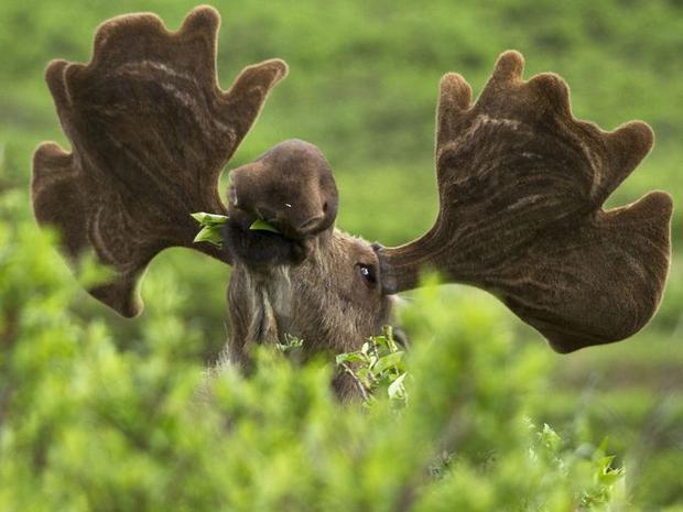 Bức ảnh tuyệt vời ghi lại hình ảnh một chú nai đang say sưa thưởng thức bữa ăn. Loài nai tại đây thường sống trong các khu rừng gần hồ và đầm lầy, thức ăn của chúng thường là cỏ, cây lá kim và các loại thực vật khác.