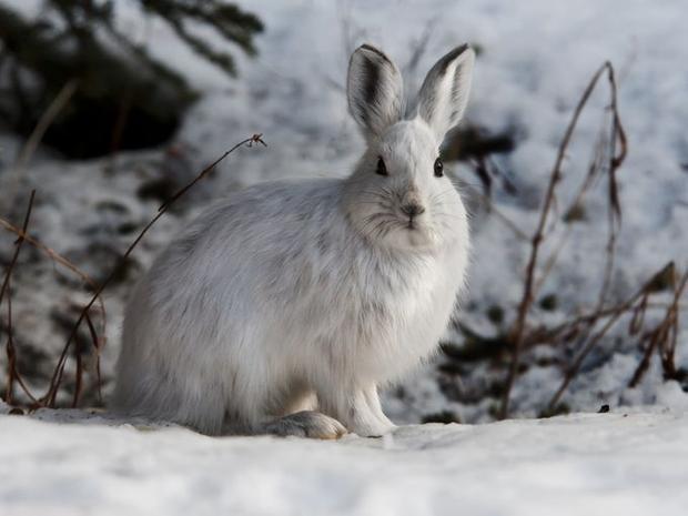 Ngoài ra, bạn cũng có thể thỉnh thoảng bắt gặp hình ảnh của một chú thỏ rừng đang ẩn nấp trong tuyết trắng. Loài thỏ này thường có đôi chân rất lớn được bao bọc với những sợi lông cứng trông như một đôi giày trượt tuyết.