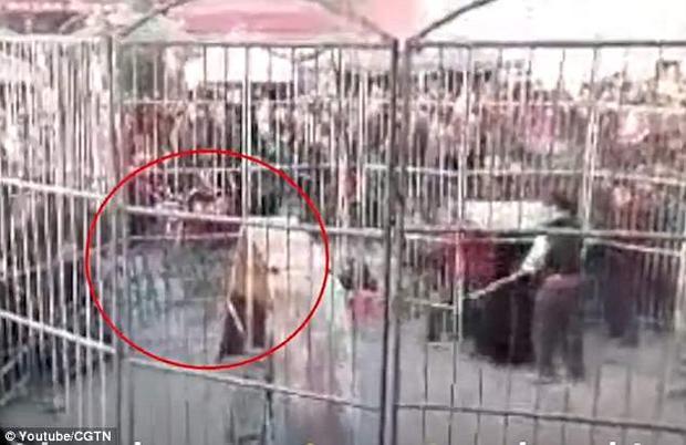 Hình ảnh con hổ xổng chuồng và lao vào khán giả. Ảnh được cắt ra từ clip.