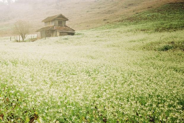 Đồng bào ở Mộc Châu gieo hạt cải vào những ngày giữa tháng 10. Bắt đầu vào độ tháng 11 - 12, khi tiết trời vùng đất cao nguyên thanh bình bắt đầu se lạnh cũng là lúc mùa hoa cải nở rộ với màu trắng tinh khôi.Ảnh: Yenlibra.