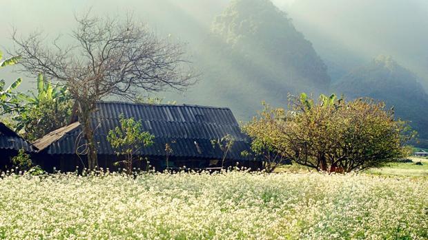 Cả thung lũng tựa như bức họa của thảo nguyên bao la. Khắp Mộc Châu, đâu đâu người ta cũng thấy bông cải trắng: Hoa nở rộ khắp các triền đồi, trải dài từ chân núi này đến chân núi kia,…Ảnh: Kim Dung.