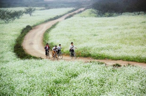 """Bản Pa Phách được mệnh danh là """"thiên đường hoa cải"""" nổi bật với những cánh đồng hoa cải trắng ngút tầm mắt. Trong từng làn khói sương mờ mờ, những cánh đồng hoa thoắt ẩn thoắt hiện giữa khung cảnh thiên nhiên của đại ngàn Tây Bắc.Ảnh: Quỳnh Trang."""