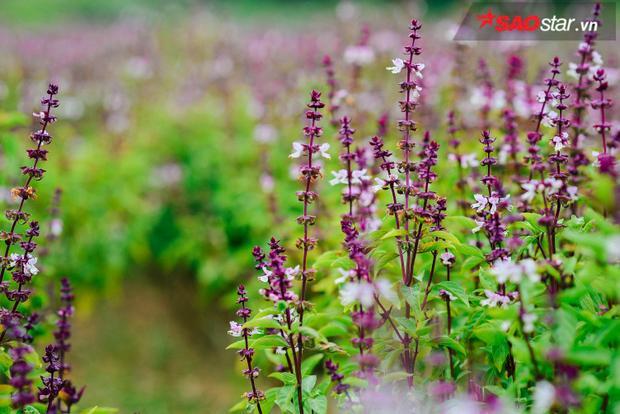 Phía sau những bức ảnh sống ảo của dân mạng là một mùa hoa lavender nhọc nhằn
