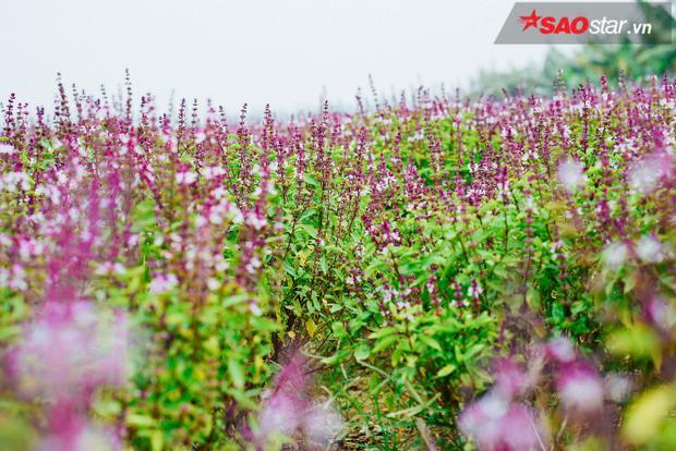 … Thế nên mới có chuyện cánh đồng rau húng khi chụp xa gây hiểu lầm đã khiến dân mạng sục sôi, về tận nơi tìm hiểu.