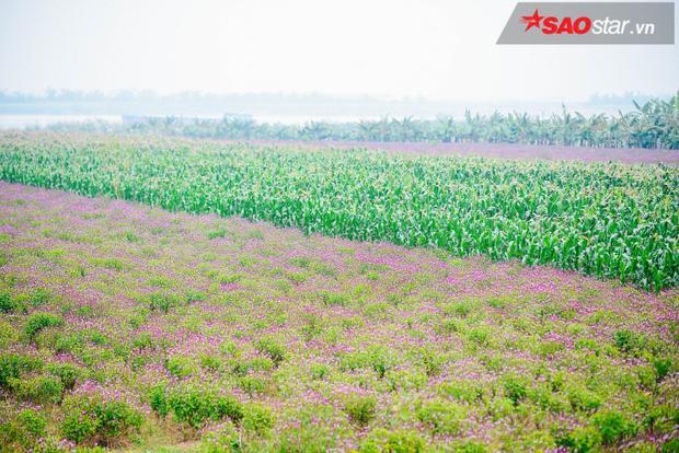 Những ô ruộng rau húng xen lẫn với ngô xanh ở bãi bồi Duyên Yết.
