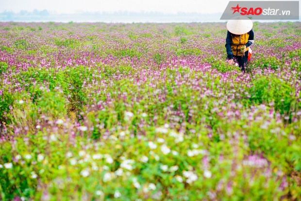 Những người nông dân ở Duyên Yết quanh năm vất vả vì rau húng.