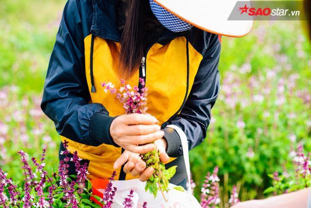 Khi những bông hoa húng chuyển từ màu tím phớt trắng sang tím biếc hoàn toàn cũng là lúc người dân bắt đầu thu hoạch.