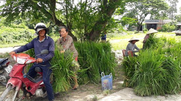 Chị Lâm Thị Thiết đang sắp những bó cỏ lên xe cho khách