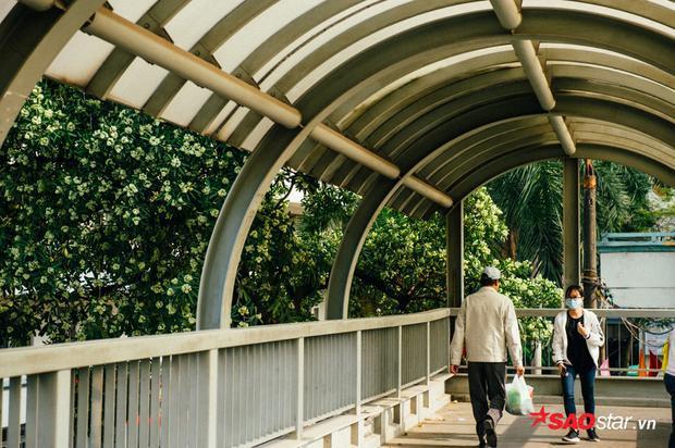 Người đi bộ nếu không muốn hít hà hương hoa sữa, đừng rảo bước qua cầu vượt đi bộ Nguyễn Chí Thanh.