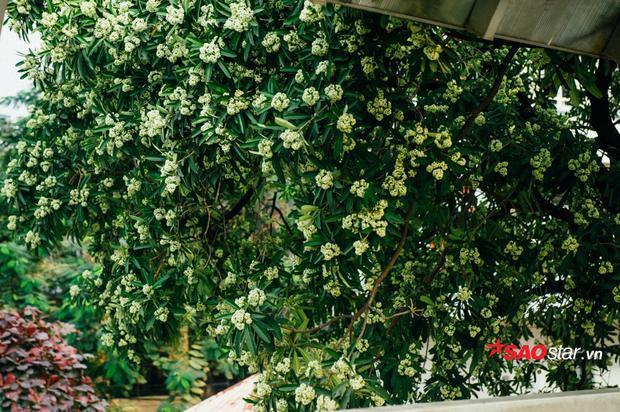 Cây hoa sữa trên đường Lạc Long Quân.