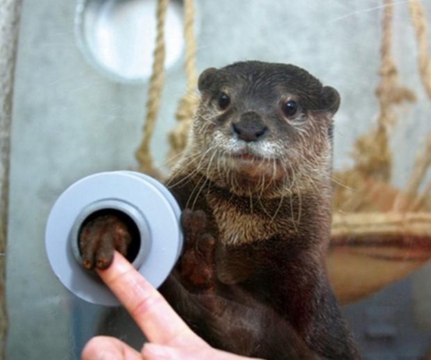 Ở xứ sở hoa anh đào, có một sở thú mà ở đó khách tham quan có thể bắt tay với những con rái cá, thông qua chiếc lỗ nhỏ.