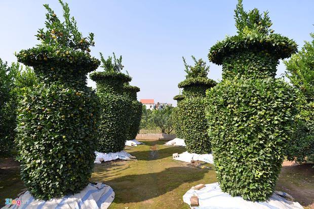 Chủ nhân vườn quýt này là ông Nguyễn Trung Thành (Liên Nghĩa, Văn Giang, Hưng Yên). Năm đầu tiên ông Thành trồng thí điểm nên số lượng cây không nhiều.