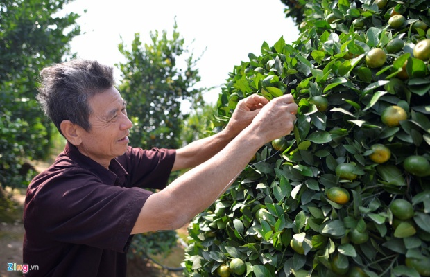Với kinh nghiệm hơn 10 năm trồng quýt, ông Thành cùng con cháu đã tạo nên những gốc quýt hình lục bình có chiều cao hơn 3 m với giá bán trên 10 triệu đồng một gốc.