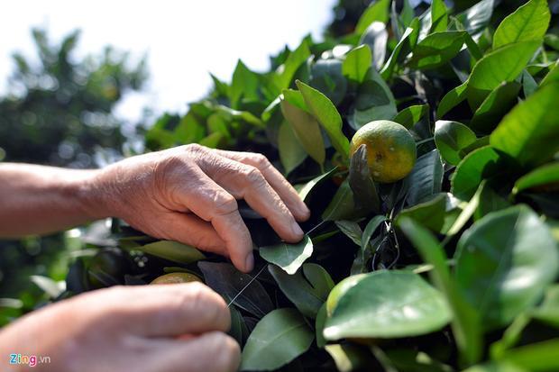Các gốc quýt lục bình tại vườn nhà ông Thành sẵn sàng phục vụ Tết Nguyên đán. Ở một số gốc, quả đã chín.
