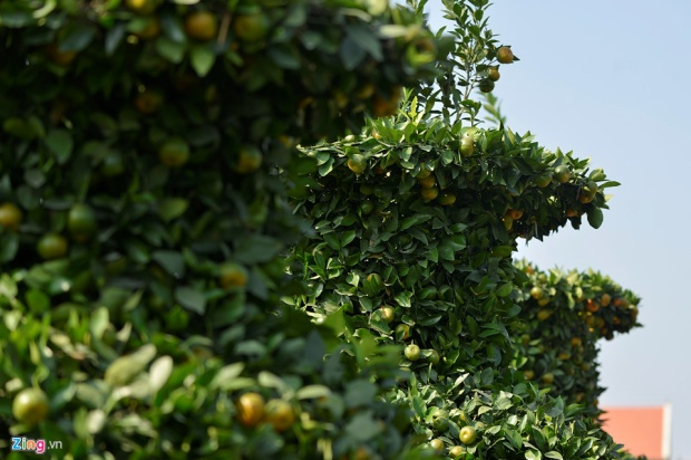 """Những cây này thường được các công ty mua về chưng Tết vì chiều cao """"quá khổ""""."""
