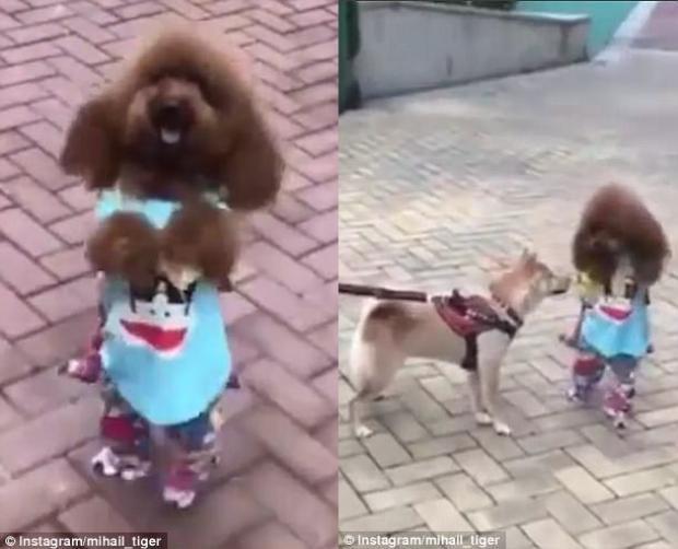 Ngay cả đến chú chó trên đường cũng không cưỡng lại được sức hấp dẫn của Đậu Đậu.