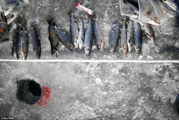 Chiến lợi phẩm của một người dân địa phương sau khi tham gia các hoạt động của lễ hội câu cá hồi trên băng. Cá hồi là một loại thức ăn giàu chất dinh dưỡng, phổ biến trong các bữa ăn Hàn Quốc.