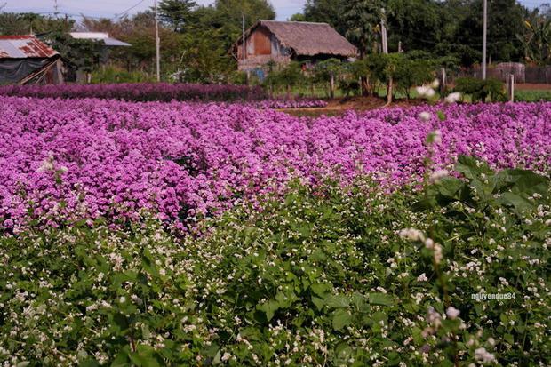 Khi đến đây bạn cũng sẽ thấy cả những luống hoa tam giác mạch đang nở. Với kinh nghiệm gần 10 năm trồng hoa, chủ vườn hoa đã nghiên cứu trồng tam giác mạch để hoa nở vào những ngày thời tiết se lạnh của miền nam.