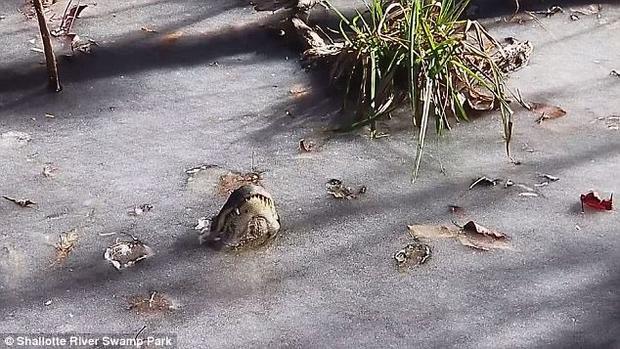 Mặc dù rất khó tin, nhưng những con cá sấu đã làm rất tốt việc trong việc bảo vệ bản thân.