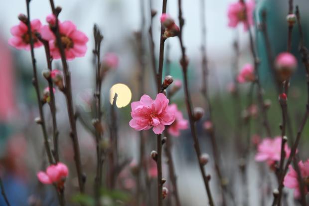 Những bông hoa nhỏ xíu e ấp dưới cái lạnh cuối mùa Đông.