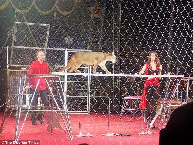 Hình ảnh trong phần trình diễn của con báo sư tử.