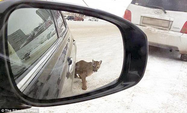 """Một người khác sau khi nhìn thấy con báo """"lượn lờ"""" ở ngoài bãi đậu xe đã nhanh chóng chụp lại hình ảnh của nó."""