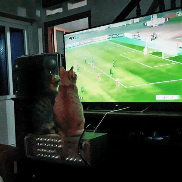 Đôi bạn mèo cũng bị trận đấu của U23 Việt Nam hấp dẫn đến mức không thể rời mắt.