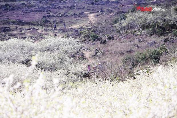 Hoa nở trắng cả núi rừng, tạo nên một khung cảnh nên thơ và lãng mạn.